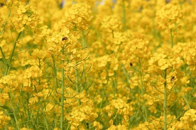 Nikon D50 + 28-80mm f/3.3-5.6 @ 70mm — 1 / 1000 sec, f/8, ISO 200 — full exif Bees and Flowers -- Kyoto, Japan -- Copyright 2006 Katsunori Shimada, http://regex.info/blog/
