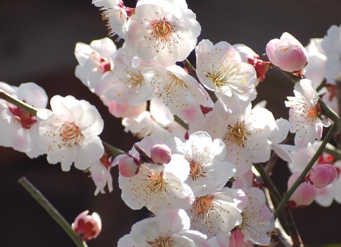 Plum-Blossom Detail Photo by Katsunori Shimada -- Kyoto, Japan -- Copyright 2006 Katsunori Shimada