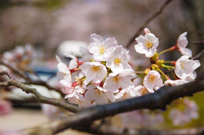 Nikon D50 + 28-80mm f/3.3-5.6 @ 62mm — 1 / 1250 sec, f/5.6, ISO 200 — full exif Blossoms -- Kyoto, Japan -- Copyright 2006 Katsunori Shimada, http://regex.info/blog/