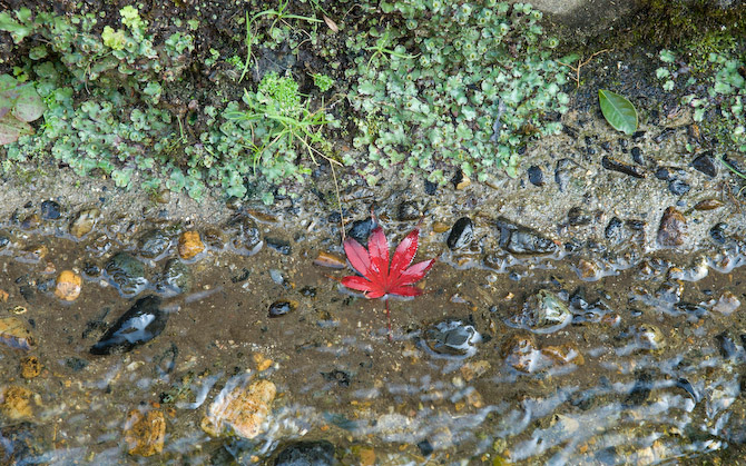 "A red ""momiji"" leaf fallen in the water outside the Enkouji Temple, Kyoto Japan, November 2006"