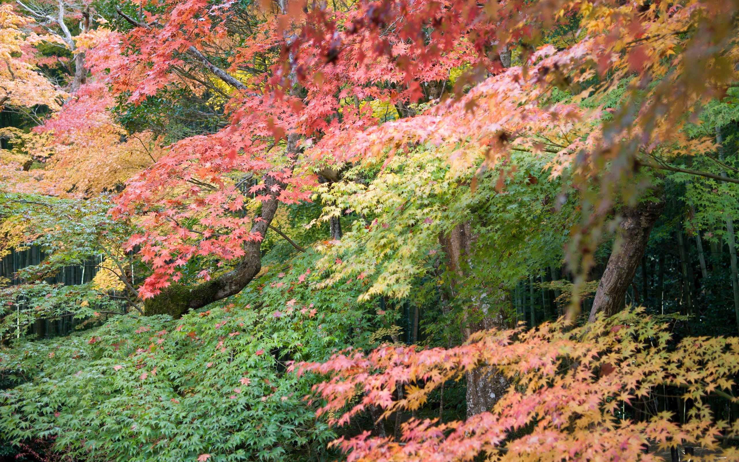Jeffrey Friedl\'s Blog » Kyoto Fall Foliage Desktops