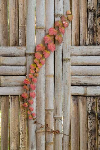 Vine with reddening leaves sticks through a crack in a bamboo fence (Kyoto, Japan)