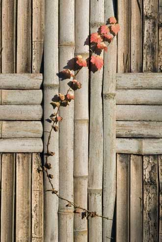 Withering vine with reddening leaves sticks through a crack in a bamboo fence (Kyoto, Japan)