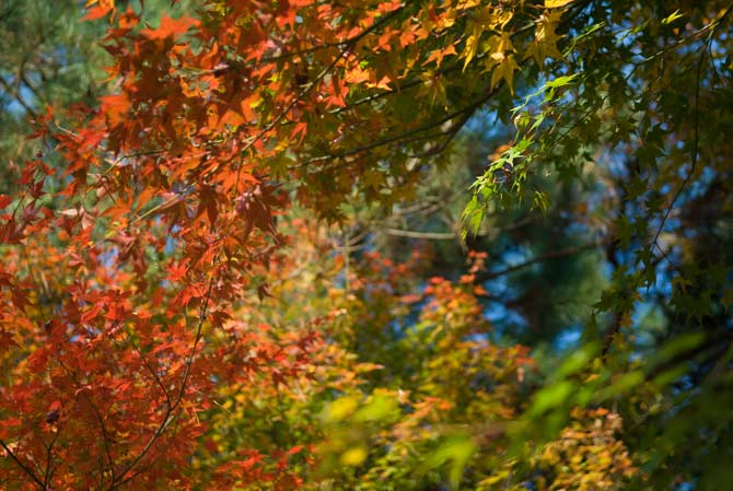 Kyoto Leaves in Autumn (focus at 2.5 meters)