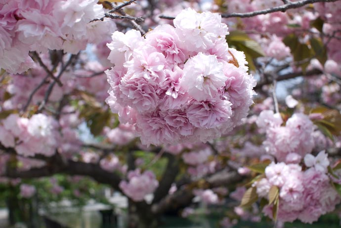 Tightly bunched pink and white yaezakura cherry blossoms, in Kyoto Japan