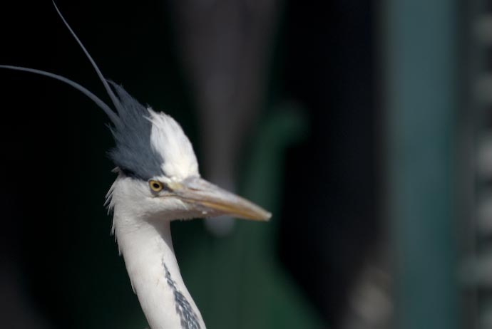 Hungry Heron -- Kyoto, Japan -- Copyright 2007 Jeffrey Eric Francis Friedl, http://regex.info/blog/