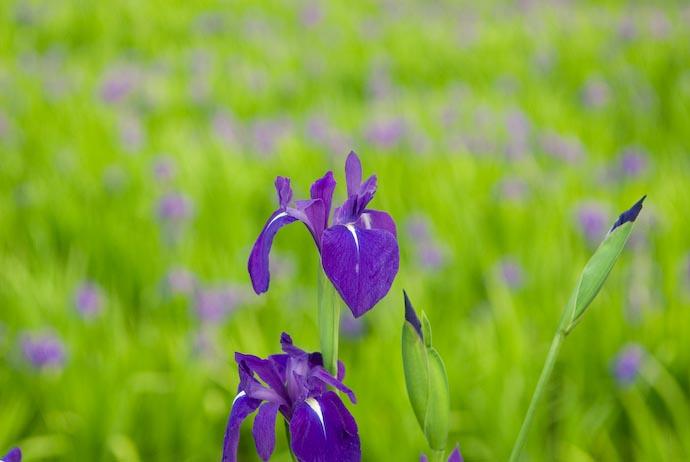 Wilty-Looking Purple Iris -- Kyoto, Japan -- Copyright 2007 Jeffrey Eric Francis Friedl, http://regex.info/blog/