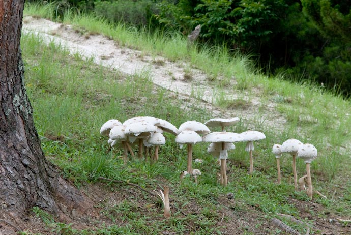 Mushrooms the Size of Dinner Plates -- Kyoto, Japan -- Copyright 2007 Jeffrey Eric Francis Friedl, http://regex.info/blog/