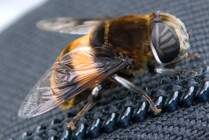 Syrphid Fly on my Camera Bag -- Kyoto, Japan -- Copyright 2007 Jeffrey Eric Francis Friedl, http://regex.info/blog/
