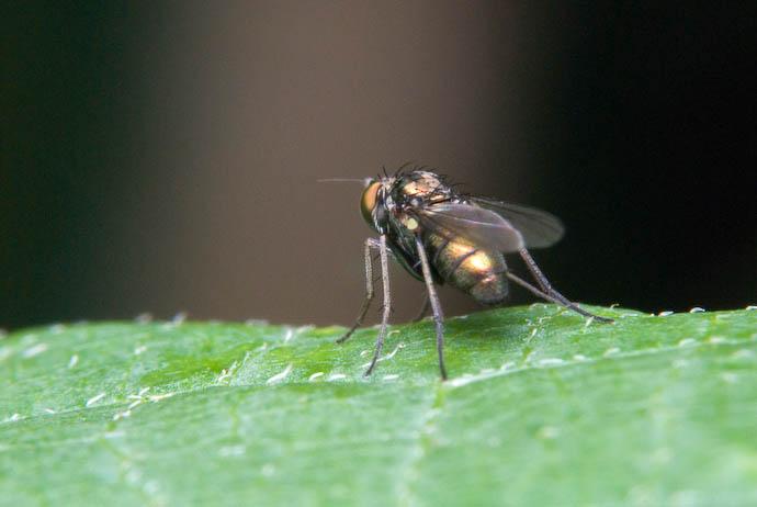 Bashful Fly -- Rootstown, Ohio, USA -- Copyright 2007 Jeffrey Eric Francis Friedl