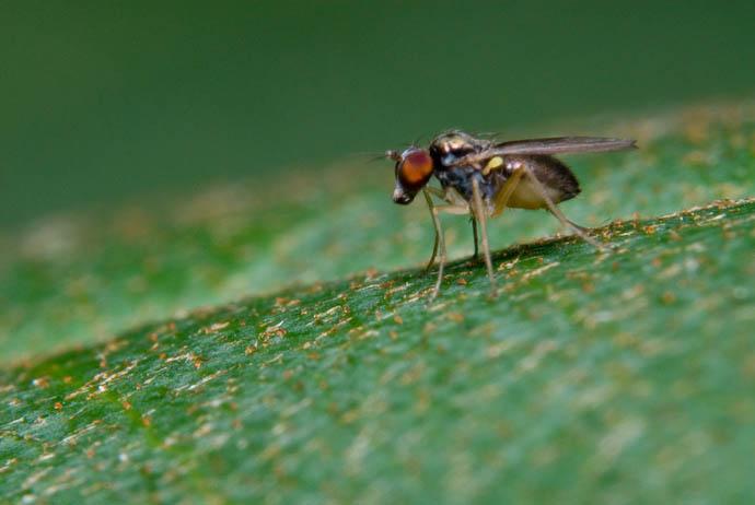 Less-Bashful Fly -- Rootstown, Ohio, USA -- Copyright 2007 Jeffrey Eric Francis Friedl