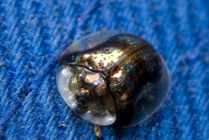 Tiny Bug With Translucent Shell sitting on a baseball cap -- Rootstown, Ohio, USA -- Copyright 2007 Jeffrey Eric Francis Friedl