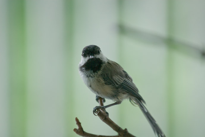 Scruffy Chickadee -- Rootstown, Ohio, USA -- Copyright 2007 Jeffrey Eric Francis Friedl
