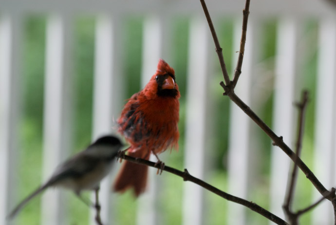 Scruffy Cardinal -- Rootstown, Ohio, USA -- Copyright 2007 Jeffrey Eric Francis Friedl