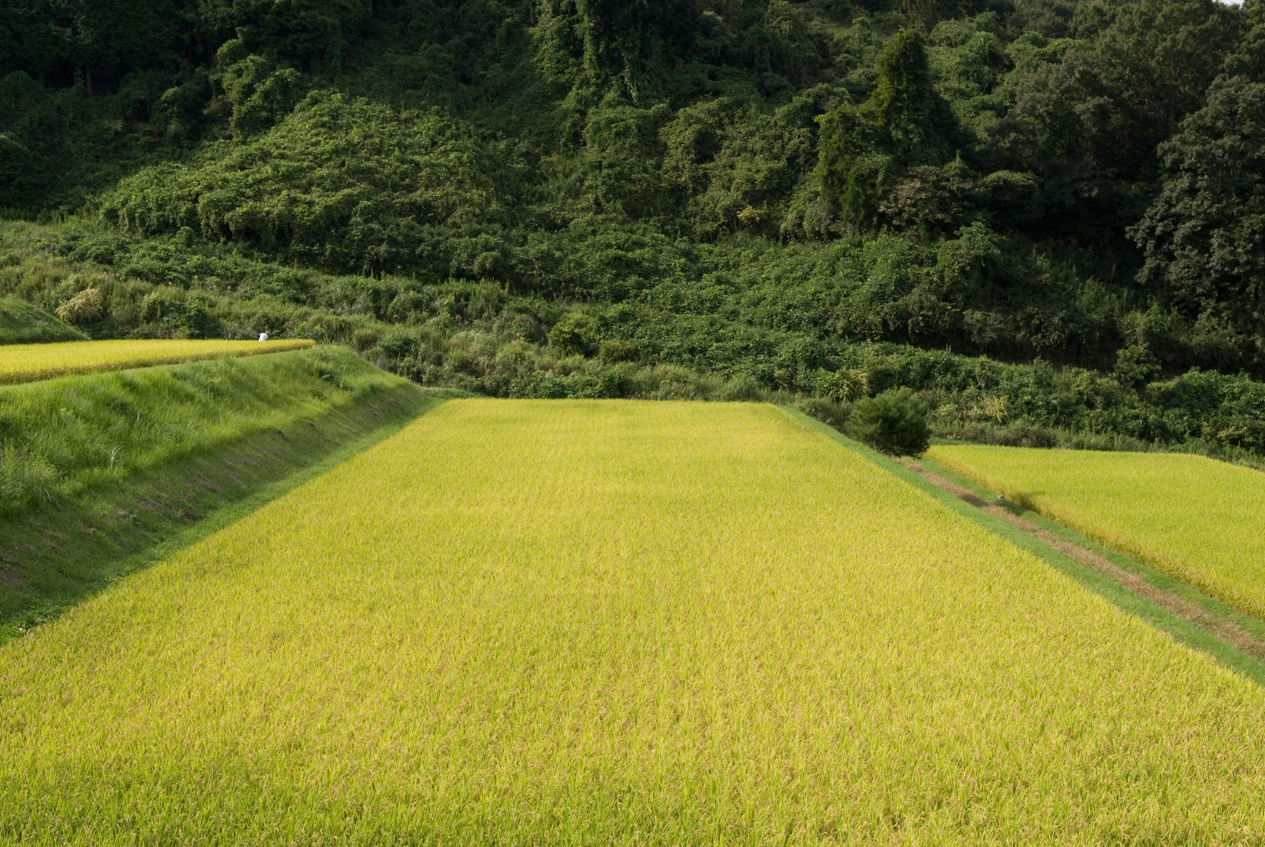 Japanese Terrace Farming