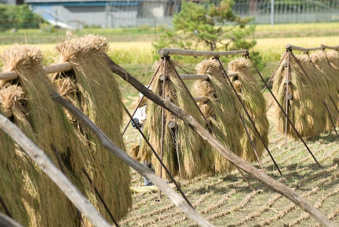"""Hanging Rice (here, """"Hanging"""" is a verb) -- Kyoto, Japan -- Copyright 2007 Jeffrey Eric Francis Friedl"""