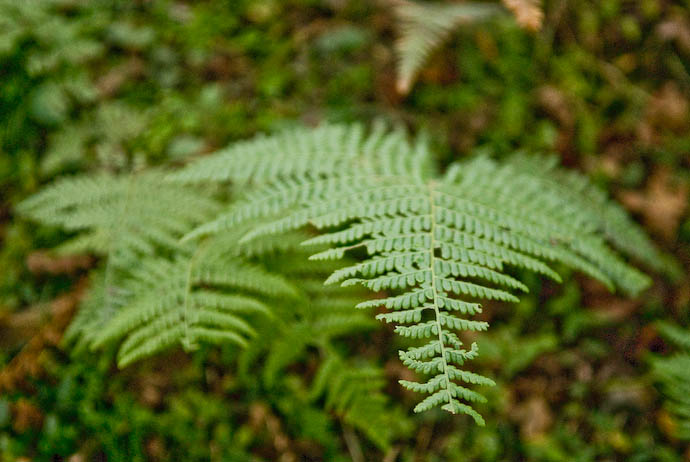 Some Random Fern -- Kyoto, Japan -- Copyright 2007 Jeffrey Eric Francis Friedl, http://regex.info/blog/