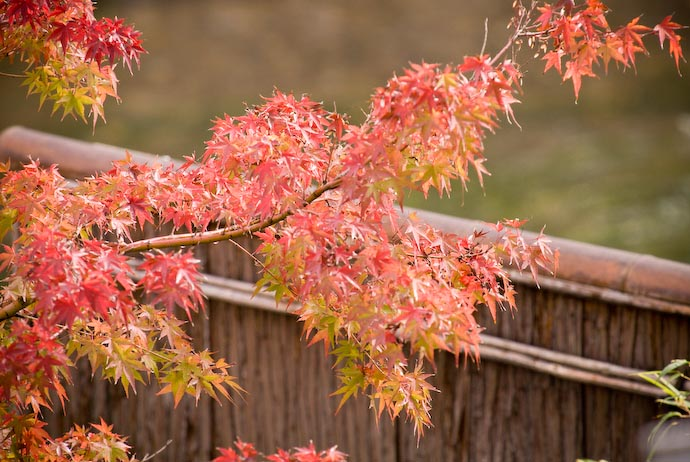 desktop background image of red-orange momiji (maple leaves) over a wood-and-bamboo fence -- Nikon D200 + TC17II + Nikkor 70 -200mm f/2.8 @ 340mm — 1 / 180 sec, f/6.3, ISO 500 — full exif View from my Office -- Kyoto, Japan -- Copyright 2007 Jeffrey Eric Francis Friedl, http://regex.info/blog/