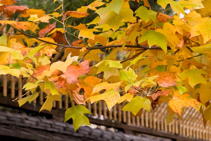 desktop background image of some colorful yellow fall foliage with a bamboo security fence of a traditional Japanese house in the background -- Nikon D200 + Nikkor 85mm f/1.4 — 1 / 250 sec, f/5.6, ISO 400 — map & image data — nearby photos Still a Touch of Green -- Kyoto, Japan -- Copyright 2007 Jeffrey Eric Francis Friedl, http://regex.info/blog/