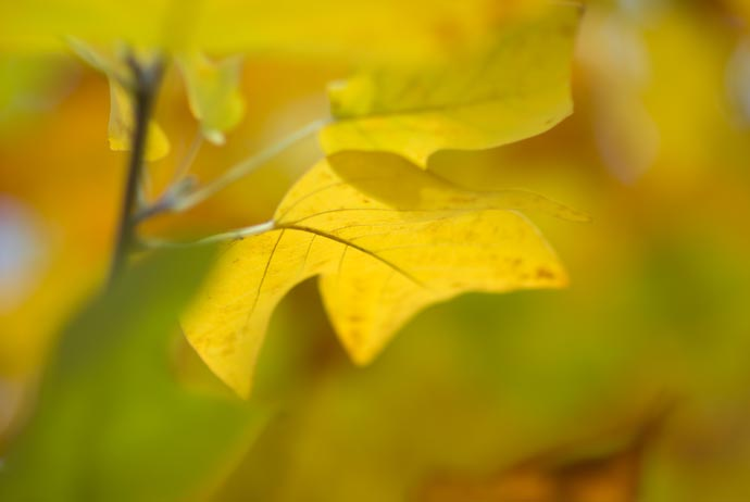 desktop background image of an isolated yellow leaf amid creamy out-of-focus leaves -- Nikon D200 + Nikkor 85mm f/1.4 — 1 / 1600 sec, f/1.4, ISO 100 — map & image data — nearby photos Creamy -- Kyoto, Japan -- Copyright 2007 Jeffrey Eric Francis Friedl, http://regex.info/blog/