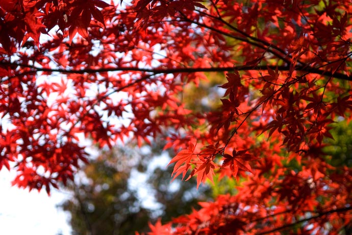 "desktop background image of deeply-rich, blood-red Japanese ""momiji"" maple leaves at their height of fall colors, at the Eikando Temple, Kyoto Japan -- Splendor at 475GHz, Back-lit -- Copyright 2007 Jeffrey Eric Francis Friedl, http://regex.info/blog/"