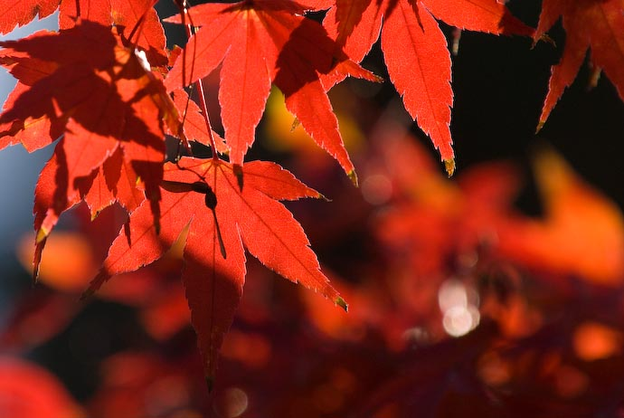 Backlit, Semi-Transparent Redness -- Kyoto, Japan -- Copyright 2007 Jeffrey Eric Francis Friedl, http://regex.info/blog/