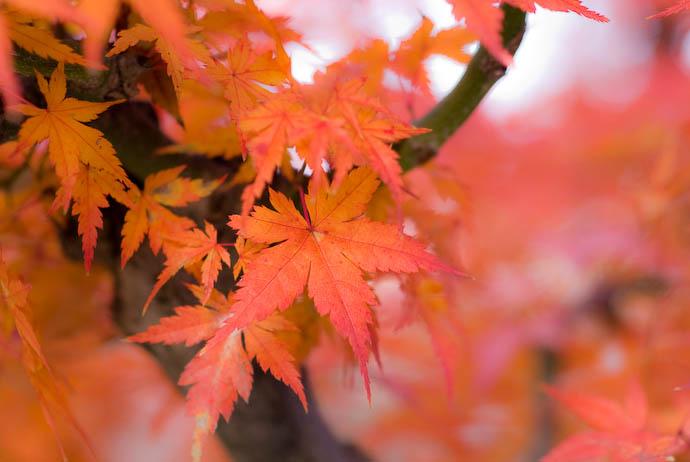 desktop background image of orange momiji fall foliage in Kyoto, Japan -- Copyright 2007 Jeffrey Eric Francis Friedl, http://regex.info/blog/