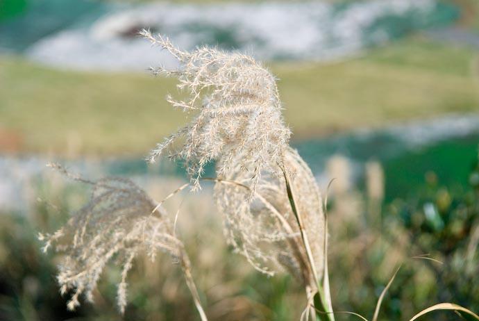 Puffy Fluffy Weed -- Amami Ooshima, Kagoshima, Japan -- Copyright 2008 Jeffrey Eric Francis Friedl, http://regex.info/blog/