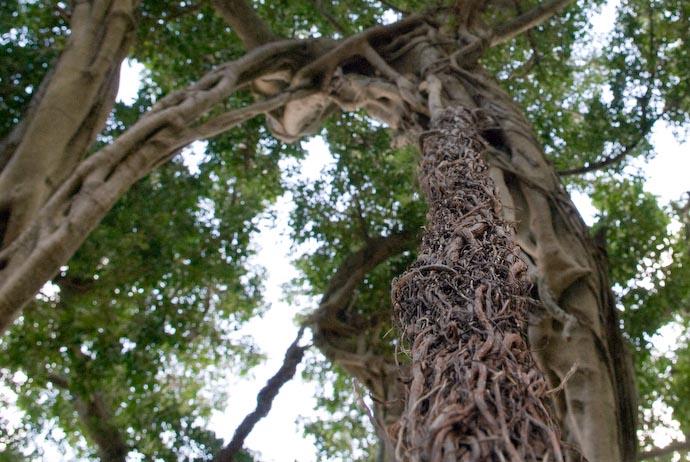 Cluster of Roots Dangling Down -- Kakeromajima (Amami), Kagoshima, Japan -- Copyright 2008 Jeffrey Eric Francis Friedl, http://regex.info/blog/