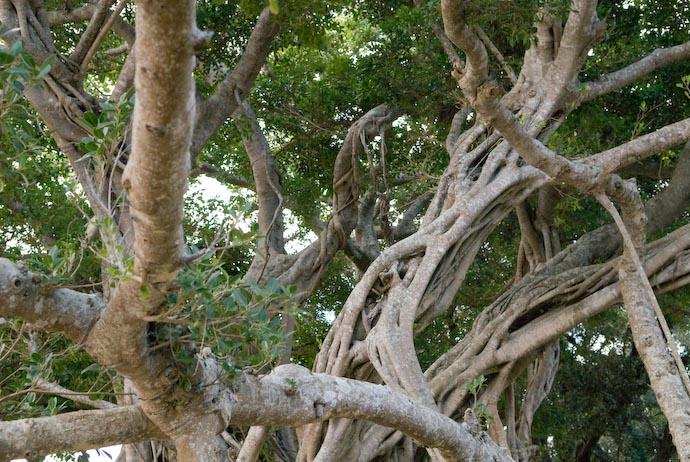Spooky Tree -- Kakeromajima (Amami), Kagoshima, Japan -- Copyright 2008 Jeffrey Eric Francis Friedl, http://regex.info/blog/