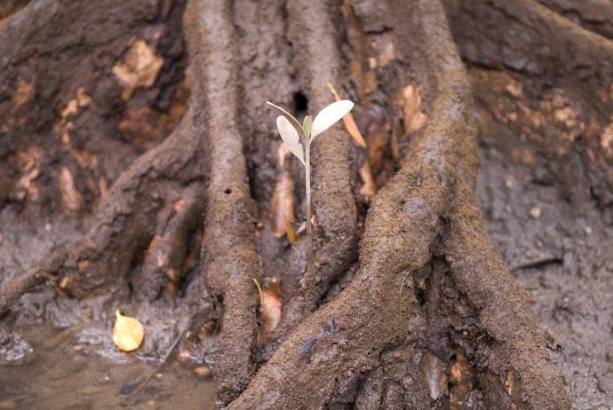 Baby Mangrove -- Amami Ooshima, Kagoshima, Japan -- Copyright 2008 Jeffrey Eric Francis Friedl, http://regex.info/blog/