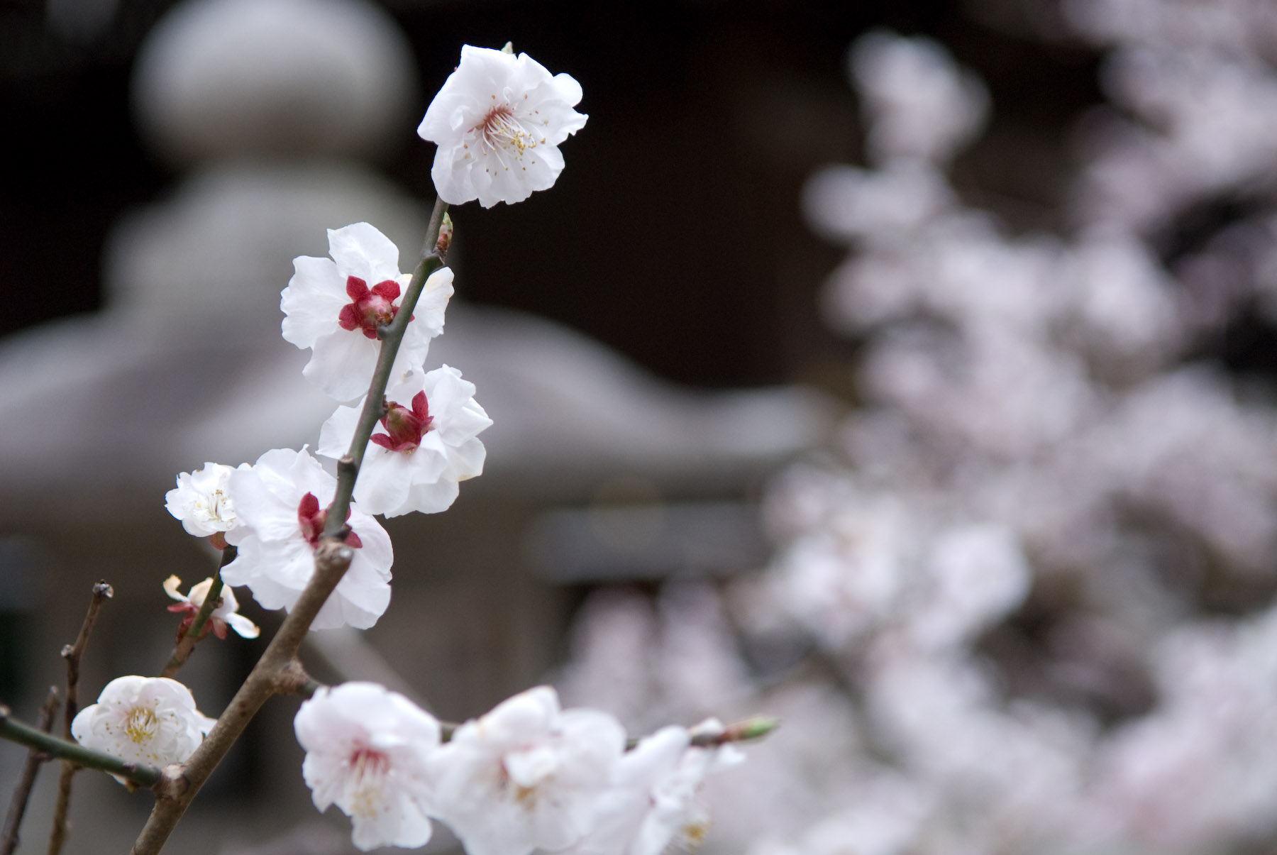 Jeffrey Friedls Blog Late To The Party Plum Blossoms At The