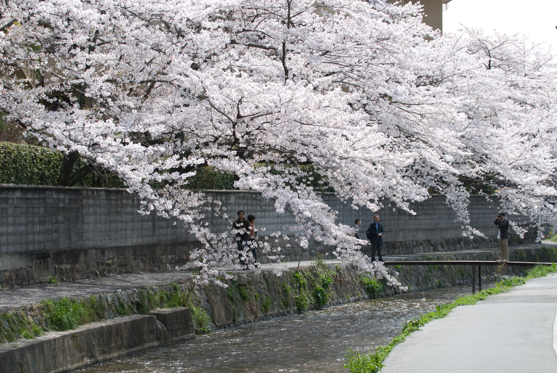 Kyoto Photo Trees Heavy With Cherry Blossoms In Northern