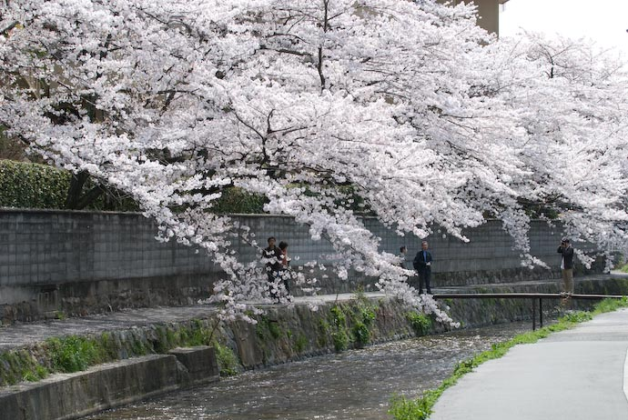 Full Bloom -- Kyoto, Japan -- Copyright 2008 Jeffrey Eric Francis Friedl