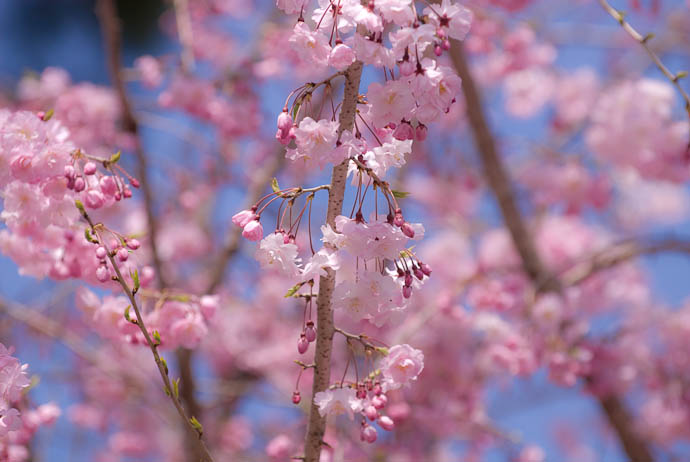 Predominance of Pink -- Kyoto, Japan -- Copyright 2008 Jeffrey Eric Francis Friedl