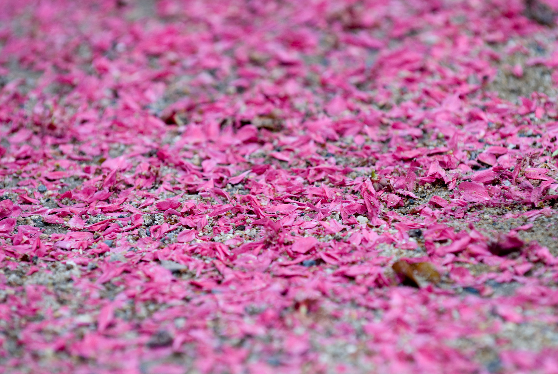 Jeffrey Friedl S Blog 187 Ugly In Pink Not All Blossoms Are