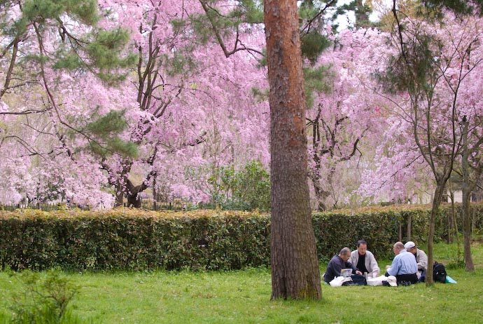 Hanami — traditional cherry-blossom-viewing picnic — -- Kyoto, Japan -- Copyright 2008 Jeffrey Eric Francis Friedl, http://regex.info/blog/