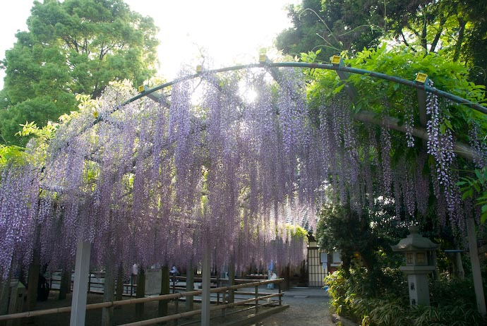 Wisteria at the Sandai Shrine, Kusatsu City, Shiga Prefecture, Japan (三大神社の藤の花、滋賀県草津市)
