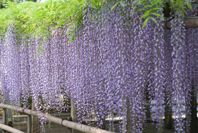 Wall of wisteria at the Sandai Shrine, Kusatsu City, Shiga Prefecture, Japan (三大神社の藤の花、滋賀県草津市)