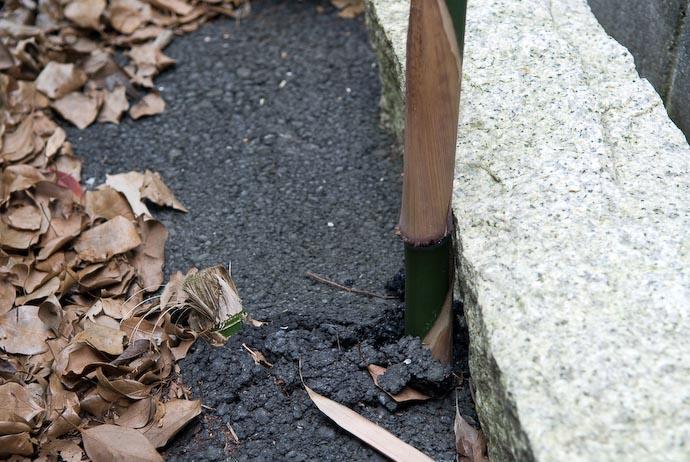 Tenacity Bamboo shooting up through solid asphalt -- Copyright 2008 Jeffrey Eric Francis Friedl