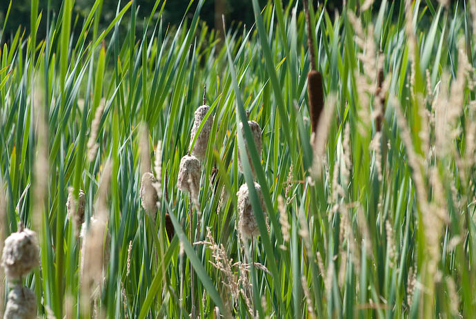 Cattails -- Rootstown, Ohio, USA -- Copyright 2008 Jeffrey Eric Francis Friedl, http://regex.info/blog/