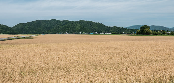 Amber Waves of Grain 11:44 AM (+6h 17m) - 107 km (66.6 miles) taken while cycling at 21 kph (13 mph) -- Nagahama, Shiga, Japan -- Copyright 2015 Jeffrey Friedl, http://regex.info/blog/