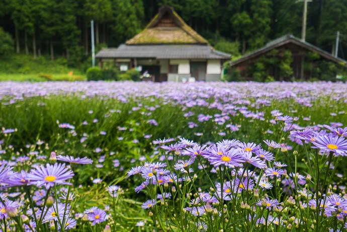 能見峠から降りた時にこんな花畑を見つけました。 -- Kyoto, Japan -- Copyright 2015 Jeffrey Friedl, http://regex.info/blog/
