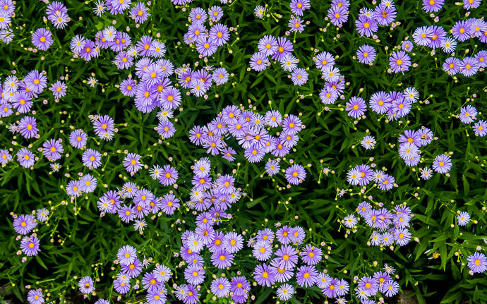 desktop background image of a bed of purple flowers -- Kyoto, Japan -- Copyright 2015 Jeffrey Friedl, http://regex.info/blog/