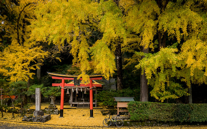 desktop background image of the Iwato Ochiba Shrine, Kyoto Japan, in full fall-foliage splendor (岩戸落葉神社、京都市) -- Pregnant With Color Iwato Ochiba Shrine (岩戸落葉神社、 京都市) two weeks ago (二週間前) -- Iwato Ochiba Shrine (岩戸落葉神社) -- Copyright 2015 Jeffrey Friedl, http://regex.info/blog/ -- This photo is licensed to the public under the Creative Commons Attribution-NonCommercial 4.0 International License http://creativecommons.org/licenses/by-nc/4.0/ (non-commercial use is freely allowed if proper attribution is given, including a link back to this page on http://regex.info/ when used online)