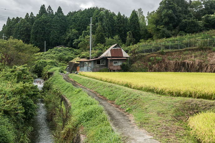 Small-Plot Rice Ready for Harvest I doubt anyone actually lives in the house, though -- Otsu, Shiga, Japan -- Copyright 2016 Jeffrey Friedl, http://regex.info/blog/
