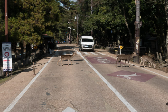 Arrogant Deer can't even be bothered to use the crosswalk Nara Park (奈良公園) 12:46pm - taken while cycling at 17 kph (11 mph) -- Nara Park (奈良公園) -- Nara, Japan -- Copyright 2016 Jeffrey Friedl, http://regex.info/blog/ -- This photo is licensed to the public under the Creative Commons Attribution-NonCommercial 4.0 International License http://creativecommons.org/licenses/by-nc/4.0/ (non-commercial use is freely allowed if proper attribution is given, including a link back to this page on http://regex.info/ when used online)