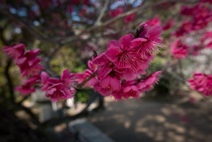 About That Time of Year Again plum blossoms at the Kitano Tenman-gu Shrine (北野天満宮), Kyoto Japan -- Kitano Tenman-gu Shrine (北野天満宮) -- Copyright 2017 Jeffrey Friedl, http://regex.info/blog/ -- This photo is licensed to the public under the Creative Commons Attribution-NonCommercial 4.0 International License http://creativecommons.org/licenses/by-nc/4.0/ (non-commercial use is freely allowed if proper attribution is given, including a link back to this page on http://regex.info/ when used online)