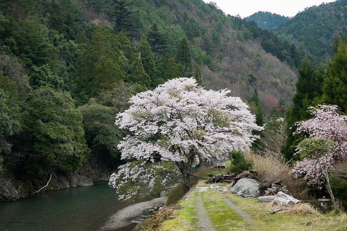 Track Road and blossoms of some sort -- Kyoto, Japan -- Copyright 2017 Jeffrey Friedl, http://regex.info/blog/