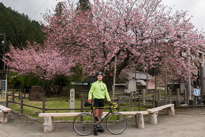 "At the "" Kuroda Century Cherry "" 黒田の百年桜 -- Century Cherry (黒田の百年桜) -- Kyoto, Japan -- Copyright 2017 Jeffrey Friedl, http://regex.info/blog/"